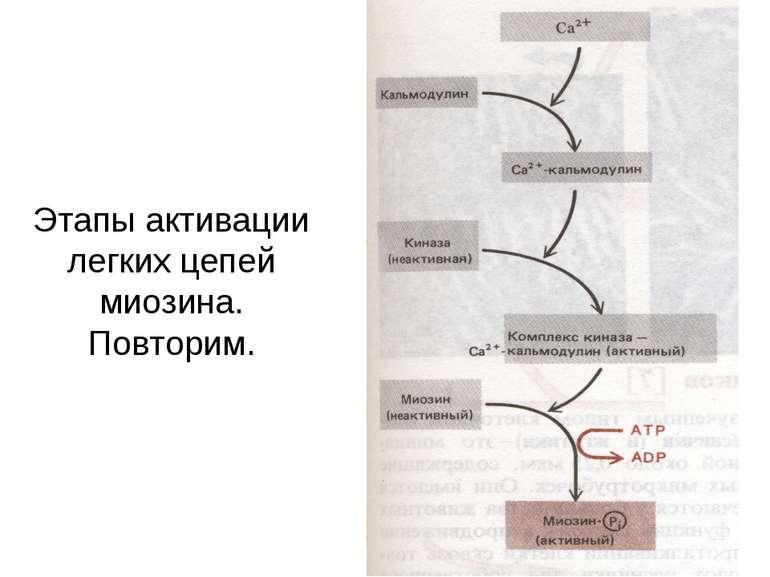 Этапы активации легких цепей миозина. Повторим.