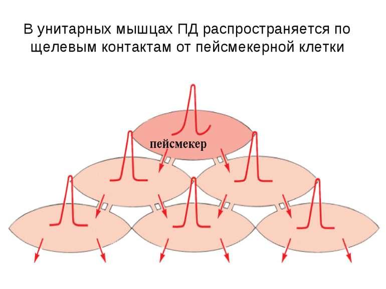 В унитарных мышцах ПД распространяется по щелевым контактам от пейсмекерной к...