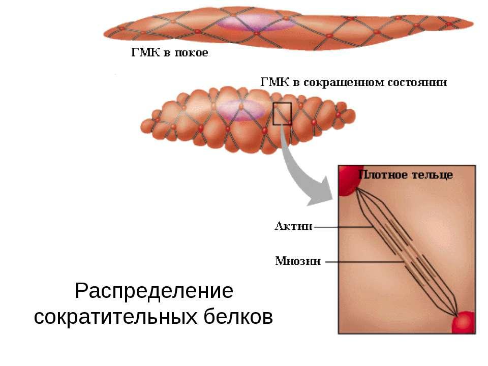 Распределение сократительных белков