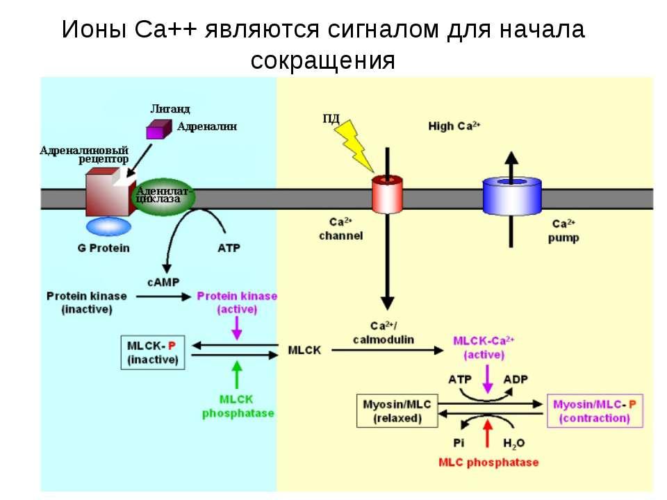 Ионы Са++ являются сигналом для начала сокращения