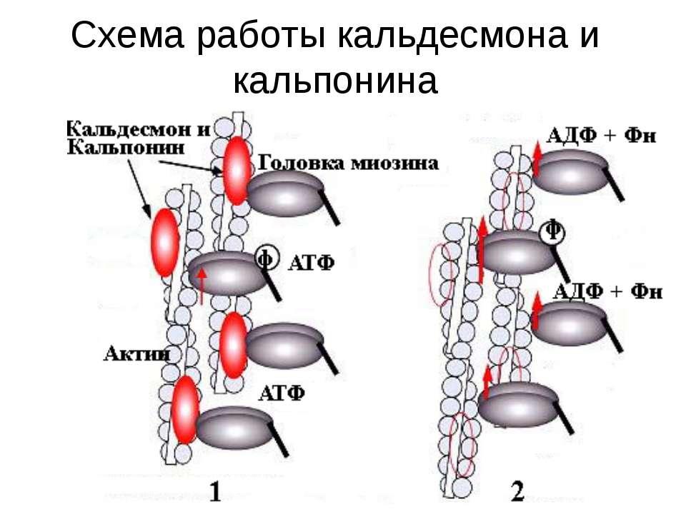 Схема работы кальдесмона и кальпонина