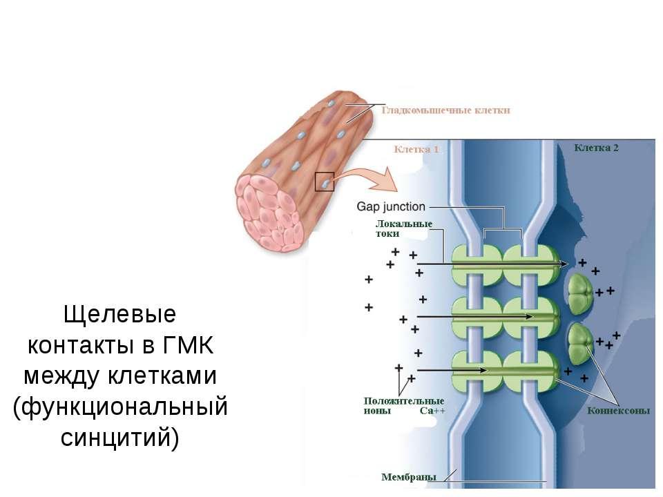Щелевые контакты в ГМК между клетками (функциональный синцитий)