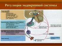 Регуляция эндокринной системы