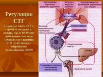 Регуляция СТГ Основная часть СТГ с кровью попадает в печень, где за 60-90 мин...
