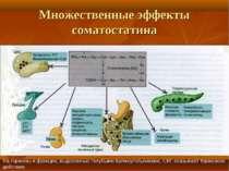 Множественные эффекты соматостатина На гормоны и функции, выделенные голубыми...