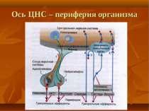 Ось ЦНС – периферия организма