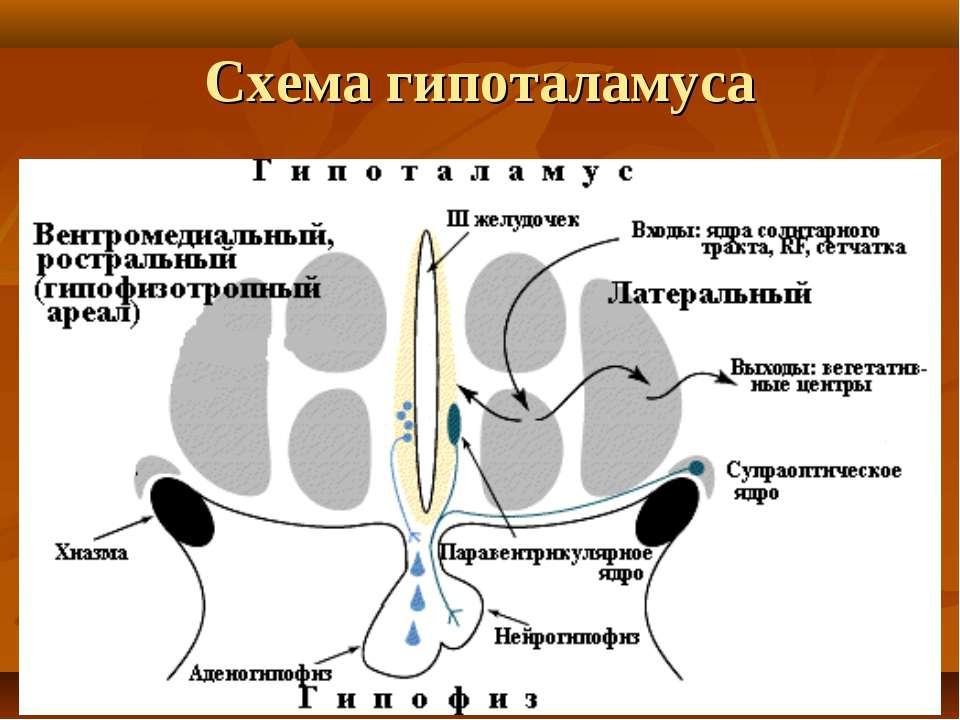 Схема гипоталамуса
