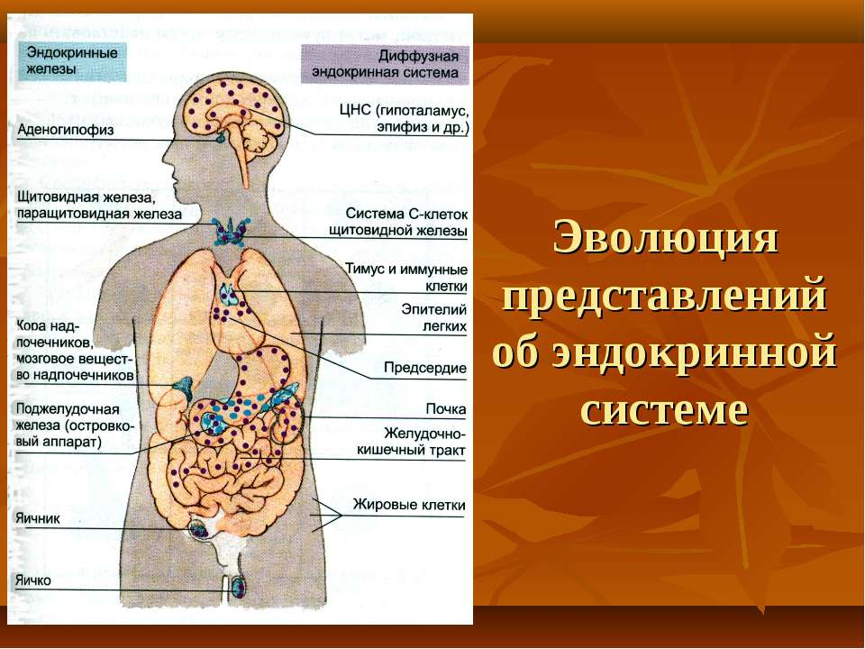 Эволюция представлений об эндокринной системе
