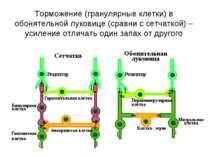 Торможение (гранулярные клетки) в обонятельной луковице (сравни с сетчаткой) ...