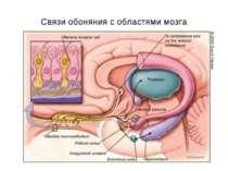 Связи обоняния с областями мозга
