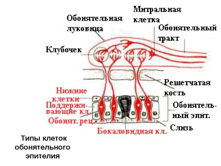 Типы клеток обонятельного эпителия