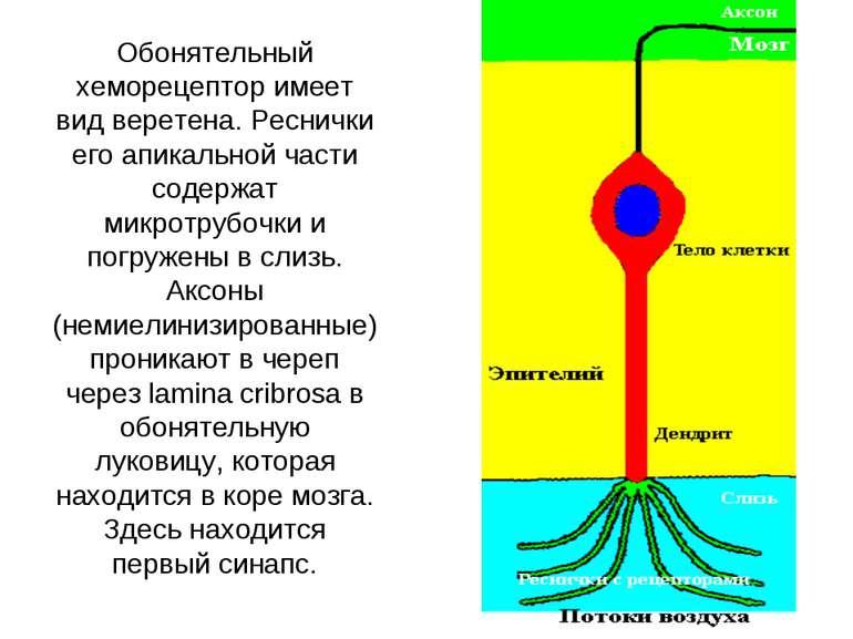 Обонятельный хеморецептор имеет вид веретена. Реснички его апикальной части с...