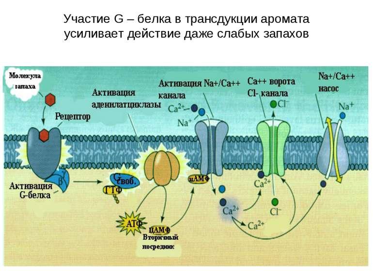 Участие G – белка в трансдукции аромата усиливает действие даже слабых запахов
