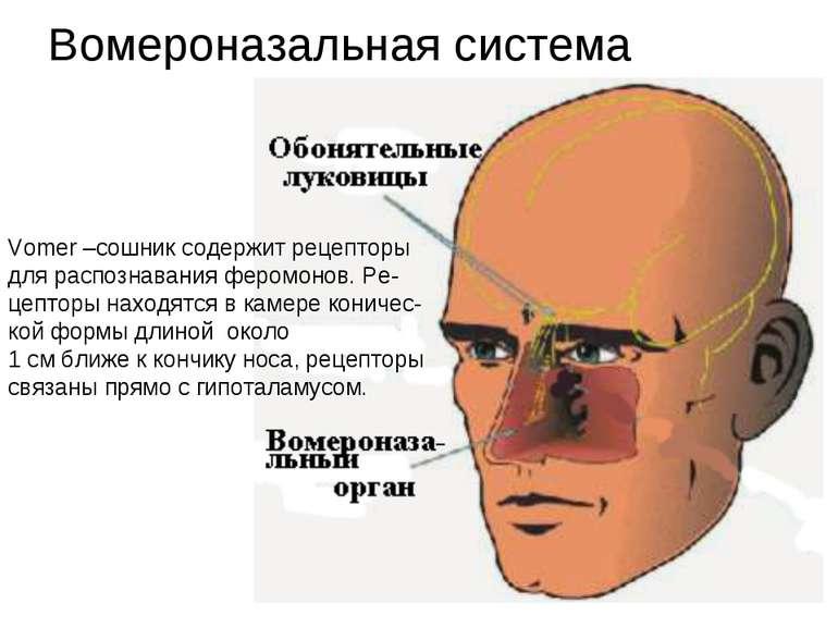 Вомероназальная система Vomer –сошник содержит рецепторы для распознавания фе...