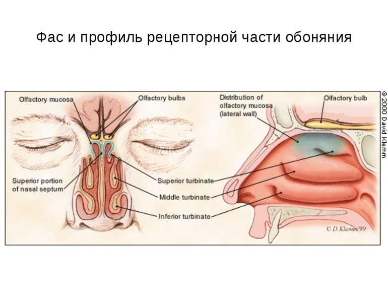 Фас и профиль рецепторной части обоняния
