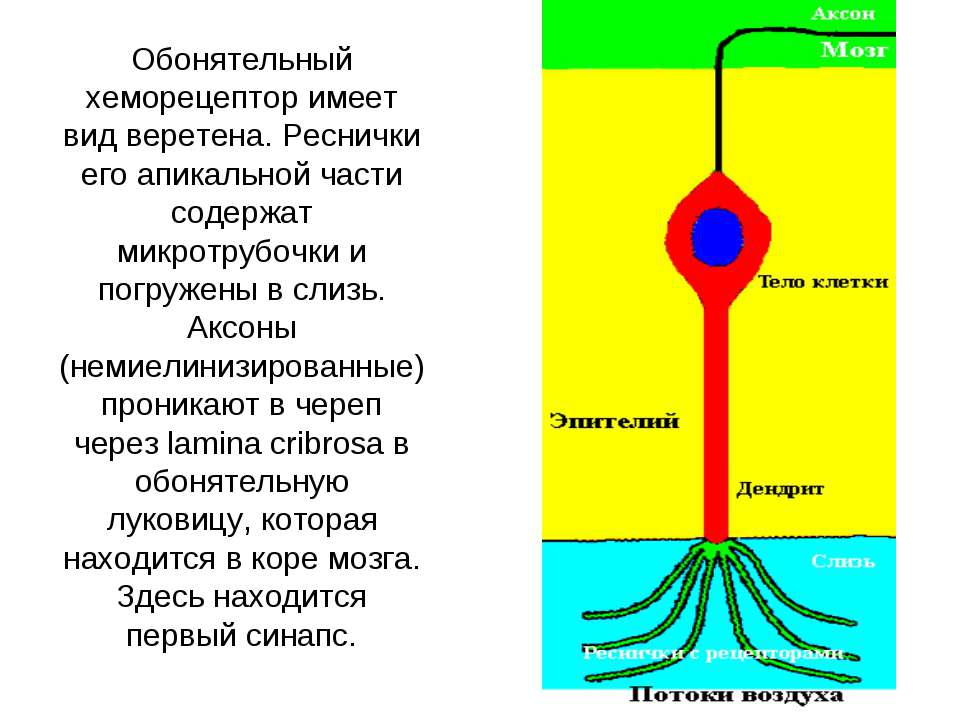 Хеморецептор фото