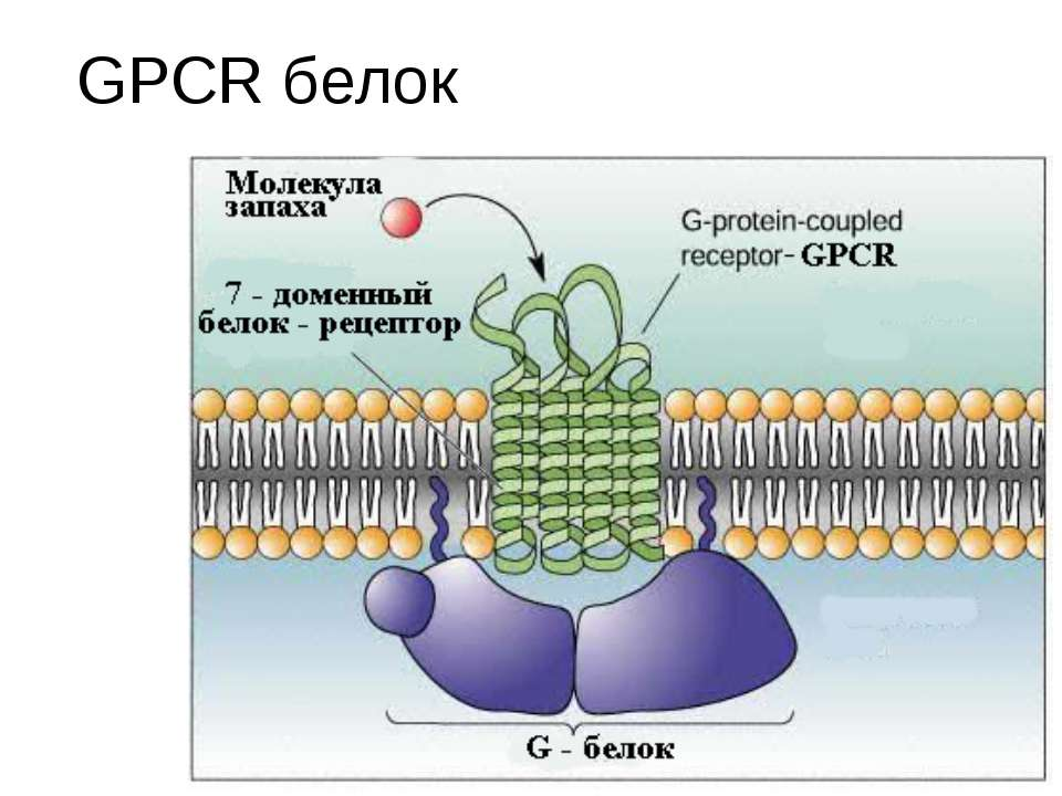 GPCR белок