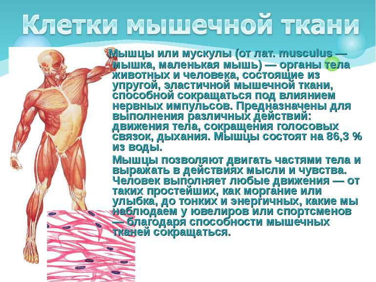 Мышцы или мускулы (от лат. musculus — мышка, маленькая мышь) — органы тела жи...
