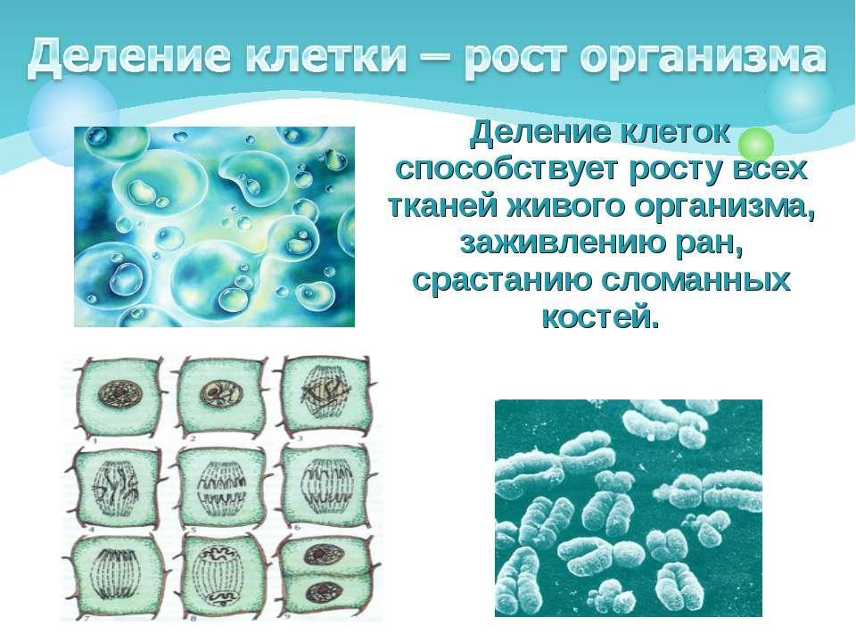 Деление клеток способствует росту всех тканей живого организма, заживлению ра...