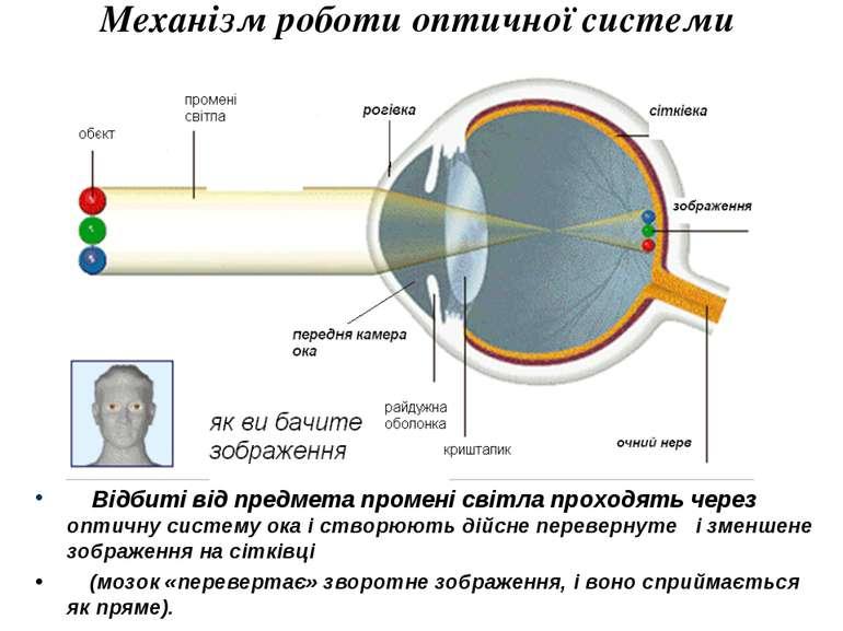 Механізм роботи оптичної системи ока Відбиті від предмета промені світла прох...