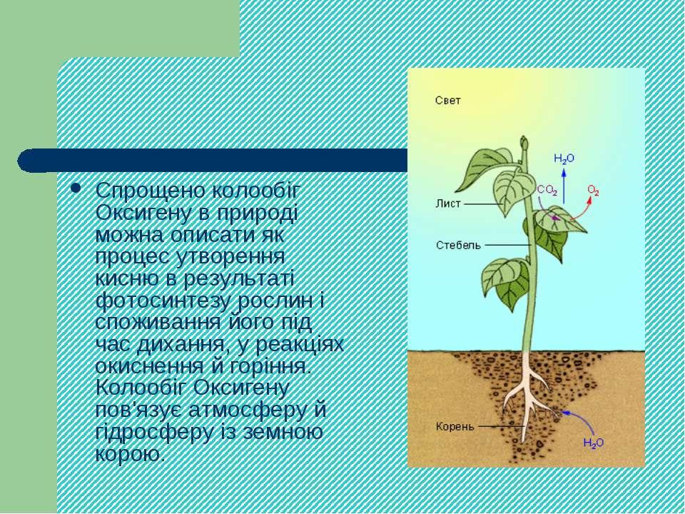 Спрощено колообіг Оксигену в природі можна описати як процес утворення кисню ...