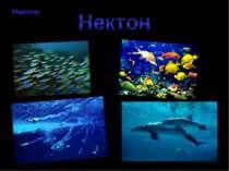 Нектон Нектон - організми (більшість риб, головоногих молюсків, китоподібні) ...
