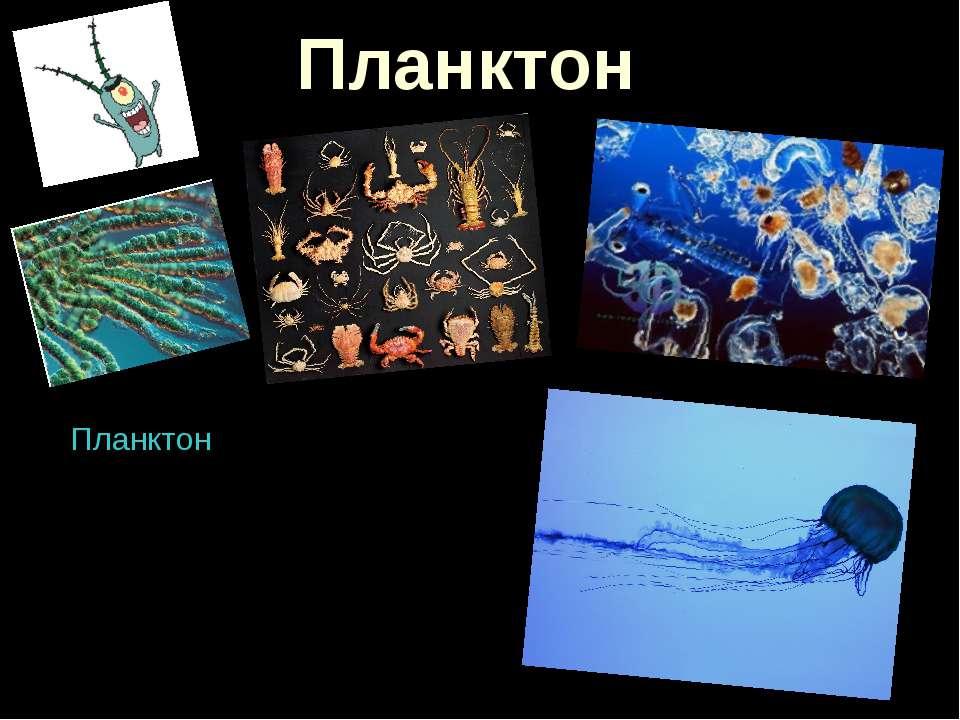 Планктон Планктон - організми (деякі бактерії, ціанобактерії, водорості, найп...