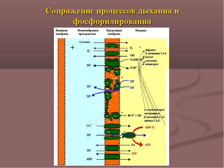 Сопряжение процессов дыхания и фосфорилирования