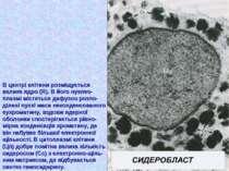 В центрі клітини розміщується велике ядро (Я). В його нуклео- плазмі містятьс...