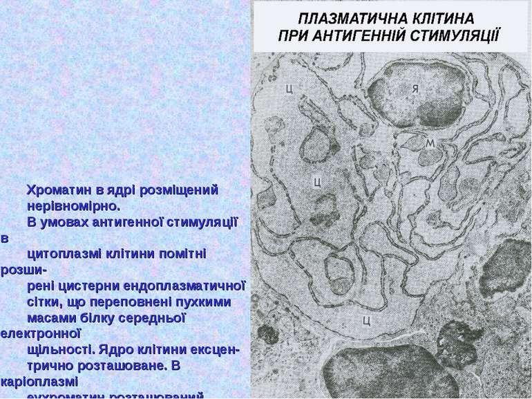Хроматин в ядрі розміщений нерівномірно. В умовах антигенної стимуляції в цит...