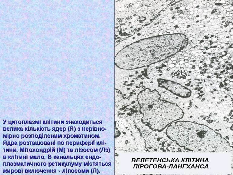 У цитоплазмі клітини знаходиться велика кількість ядер (Я) з нерівно- мірно р...