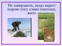 Не замерзають, якщо вкриті шаром снігу озима пшениця, жито