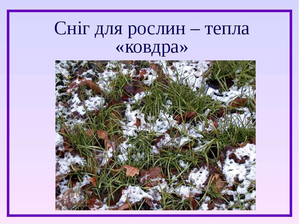 Сніг для рослин – тепла «ковдра»