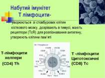 Набутий імунітет Т лімфоцити- уворюються зі стовбурових клітин кісткового моз...