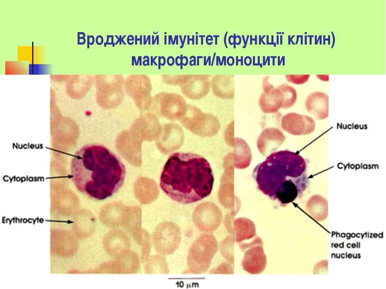 Вроджений імунітет (функції клітин) макрофаги/моноцити