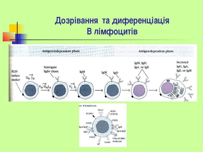Дозрівання та диференціація В лімфоцитів