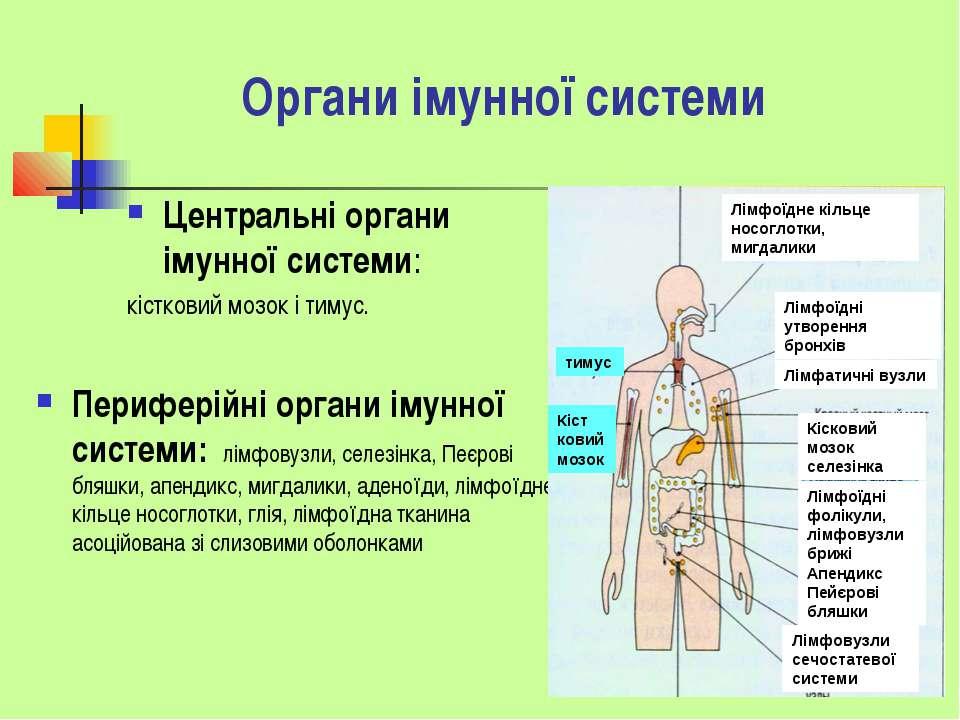 Органи імунної системи Центральні органи імунної системи: кістковий мозок і т...