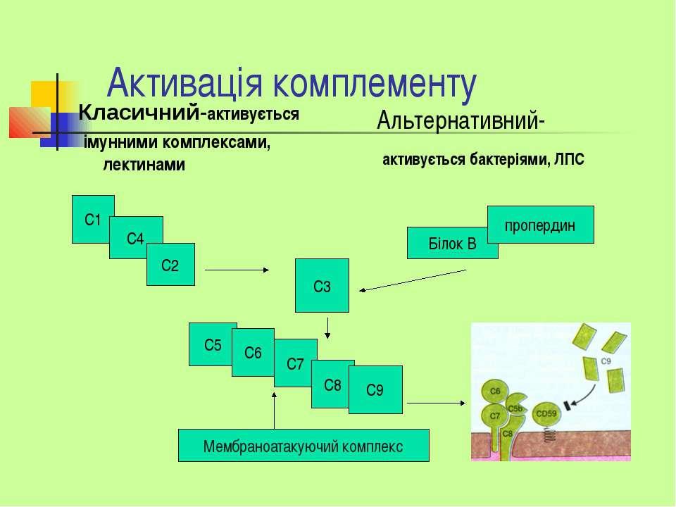 Активація комплементу Класичний-активується імунними комплексами, лектинами А...