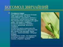 БОГОМОЛ ЗВИЧАЙНИЙ Споріднені види: Ряд богомолових об'єднує близько 1800 виді...