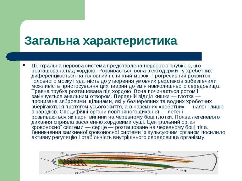 Загальна характеристика Центральна нервова система представлена нервовою труб...