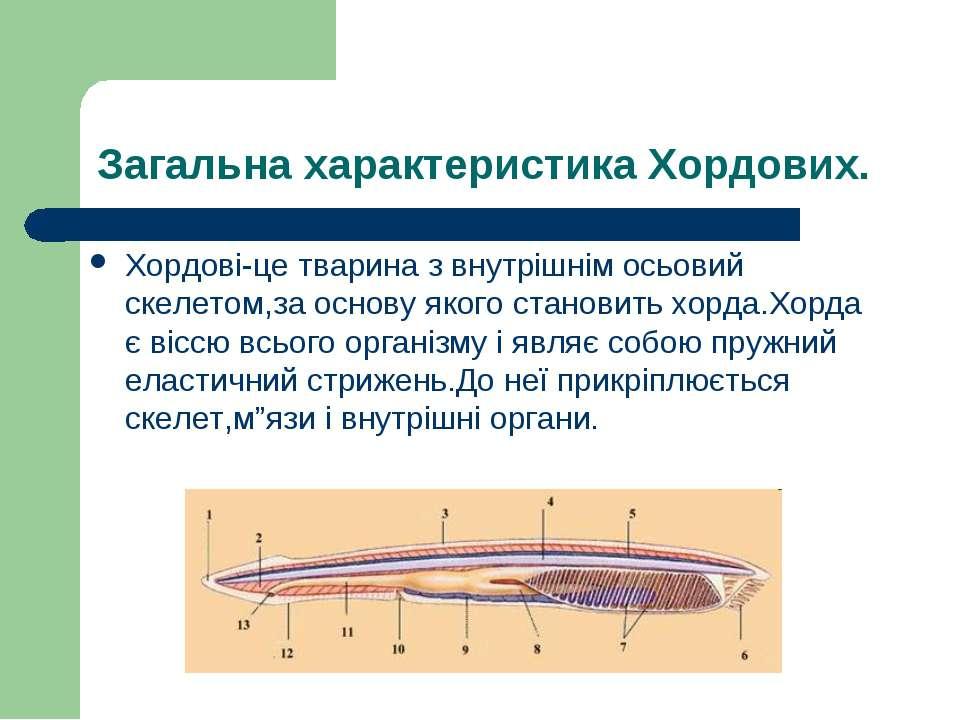 Загальна характеристика Хордових. Хордові-це тварина з внутрішнім осьовий ске...