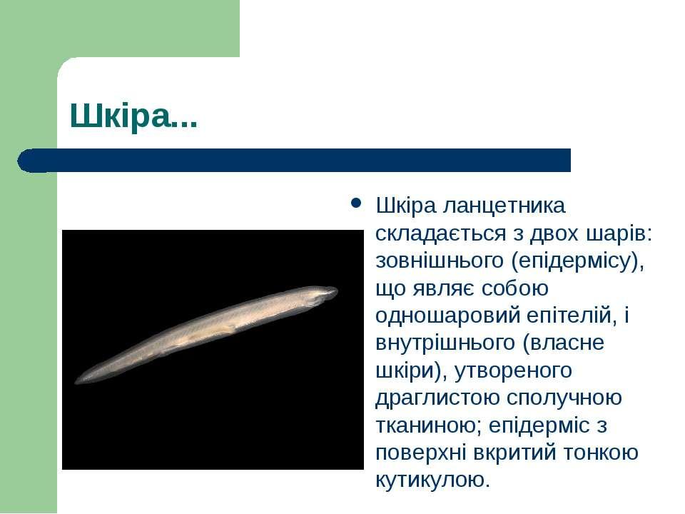 Шкіра... Шкіра ланцетника складається з двох шарів: зовнішнього (епідермісу),...