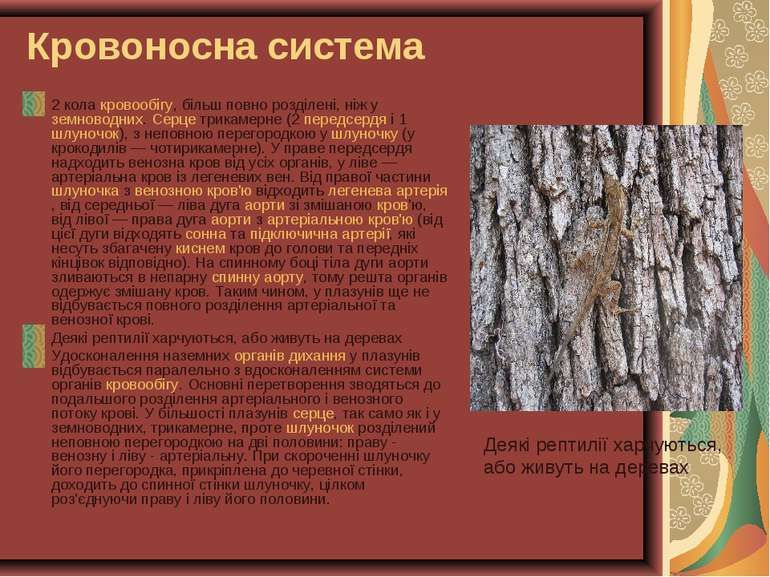 Кровоносна система 2 кола кровообігу, більш повно розділені, ніж у земноводни...