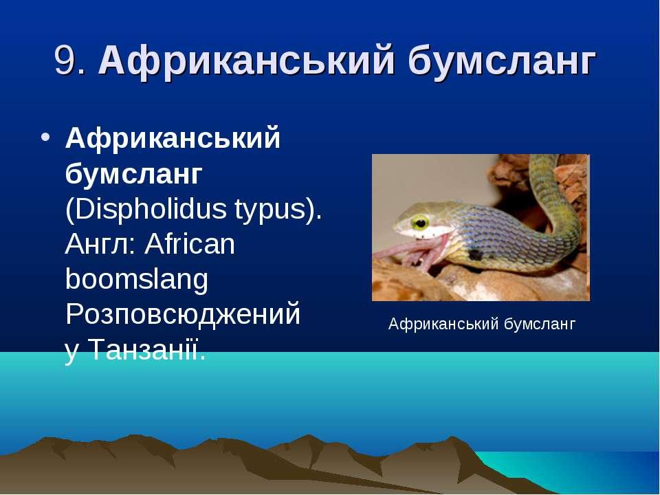 9. Африканський бумсланг Африканський бумсланг (Dіspholіdus typus). Англ: Afr...