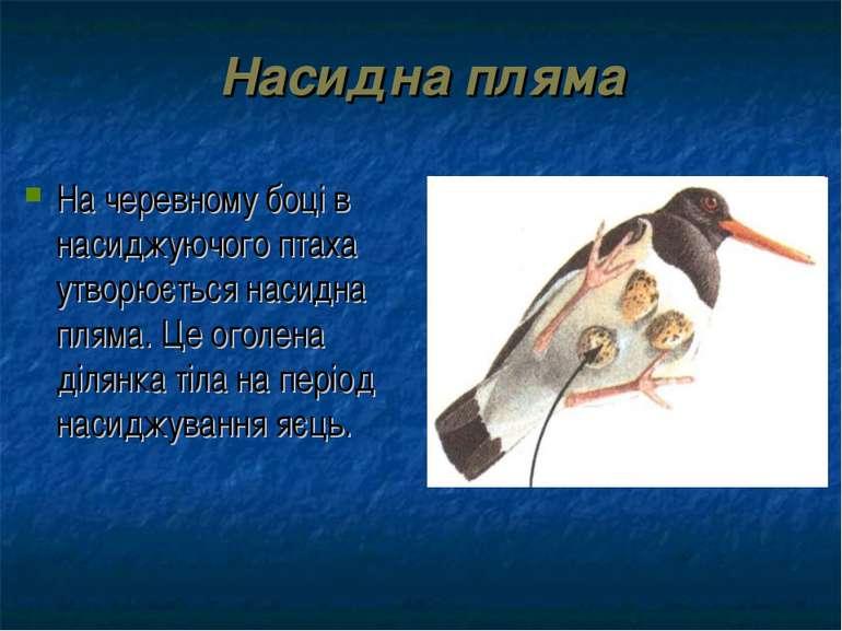 Насидна пляма На черевному боці в насиджуючого птаха утворюється насидна плям...