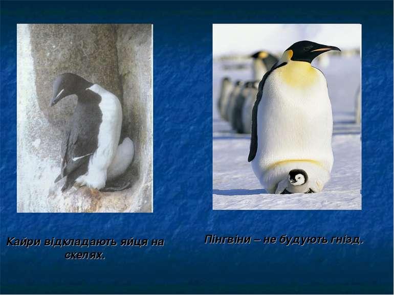 Кайри відкладають яйця на скелях. Пінгвіни – не будують гнізд.