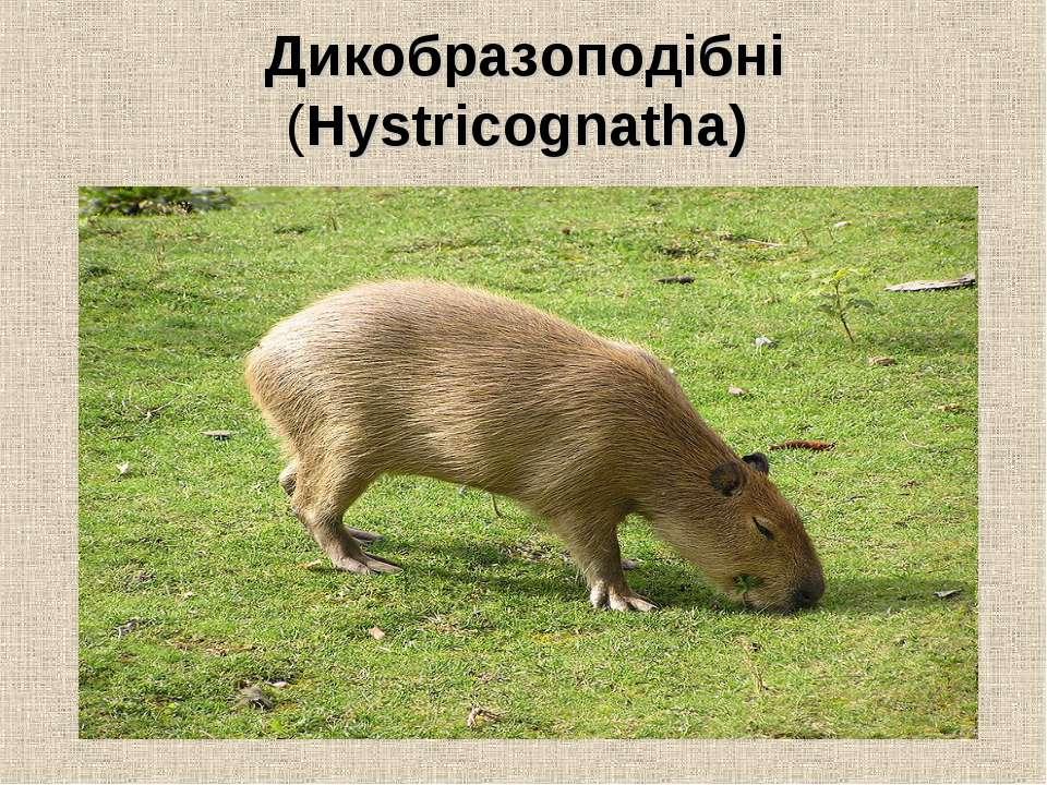 Дикобразоподібні (Hystricognatha)