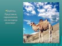 Верблюд. Представник парнокопитних савців,підряду мозоленогі.