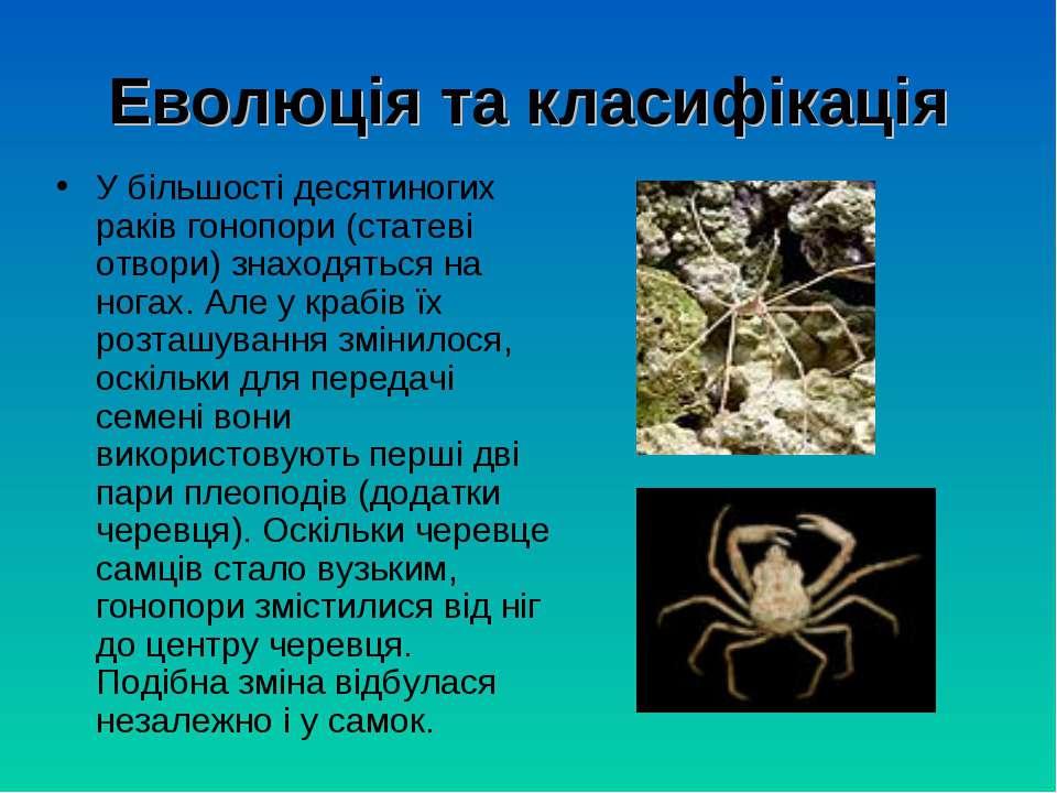 Еволюція та класифікація У більшості десятиногих раків гонопори (статеві отво...