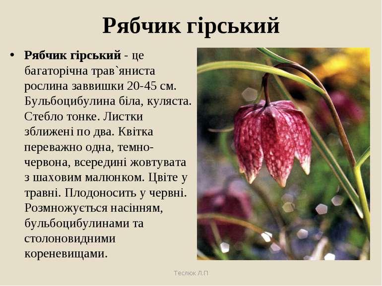 Рябчик гірський Рябчик гірський - це багаторічна трав`яниста рослина заввишки...